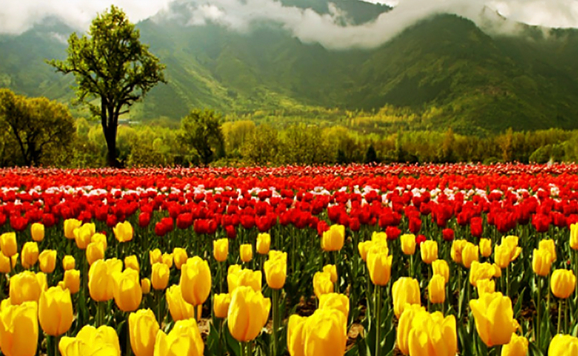 Glimpse of Tulips - Countryside Kashmir