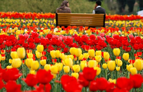 Essence of Tulips - Countryside Kashmir